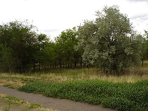 Crown Hill Park - A stand of trees with a Russian olive prominent in the right foreground.