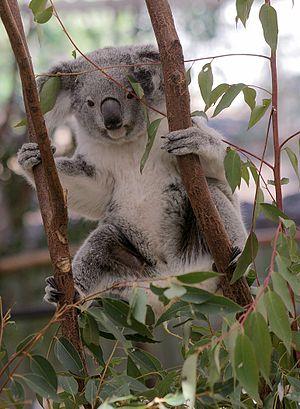 Lone Pine Koala Sanctuary - Koala Joey climbing a gum tree