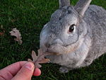 A Standard Chinchilla eating a leaf