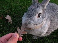 Chinchilla rabbit - Wikipedia