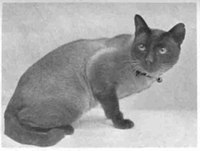 Wankee, born 1895 in Hong Kong, became the first U.K. Siamese champion in 1898.