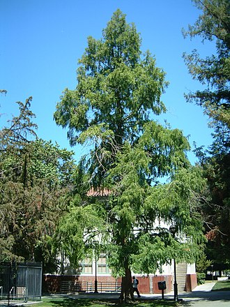 Metasequoia glyptostroboides - Image: SJSU Dawn Redwood