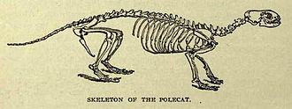 European polecat - Skeleton, as illustrated in Lydekker's The New Natural History
