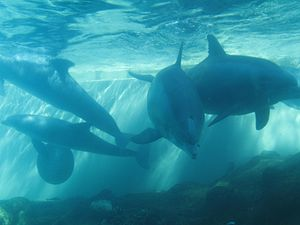 Dolphin Cove (SeaWorld) - The underwater viewing area with the Bottlenose Dolphins at SeaWorld Florida.