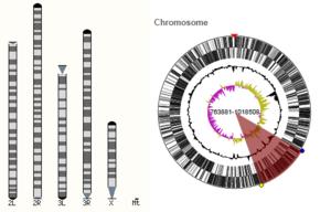 Ensembl Genomes - Karyotype visualisation in Ensembl Genomes