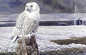 Charles Tunnicliffe - A Snowy Owl, Anglesey, date unknown.