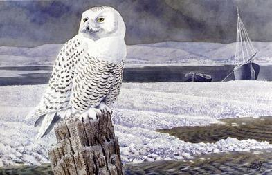 Tunnicliffe - A Snowy Owl, Anglesey