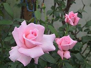 Marylou Whitney - The Marylou Whitney Rose