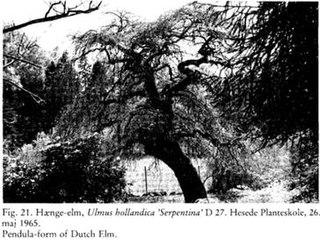 <i>Ulmus</i> × <i>hollandica</i> Serpentina Elm cultivar
