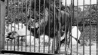 <i>Lion, London Zoological Gardens</i> 1896 film by Alexandre Promio