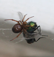 A spider in the process of wrapping a bluebottle caught in its web