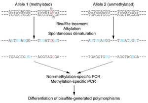 Bisulfite sequencing wikipedia figure 1 outline of bisulfite conversion of sample sequence of genomic dna nucleotides in blue are unmethylated cytosines converted to uracils by malvernweather Choice Image