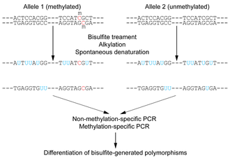Bisulfite sequencing - Figure 1: Outline of bisulfite conversion of sample sequence of genomic DNA. Nucleotides in blue are unmethylated cytosines converted to uracils by bisulfite, while red nucleotides are 5-methylcytosines resistant to conversion.