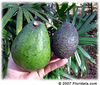 Florida Lime & Avocado Growers, Inc. v. Paul - This is a comparison of a West Indian avocado (left) with a Mexican avocado (right) – human hand shows sizes.