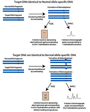 SNP genotyping