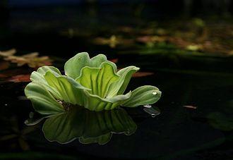 Pistia - Water lettuce in a home aquarium