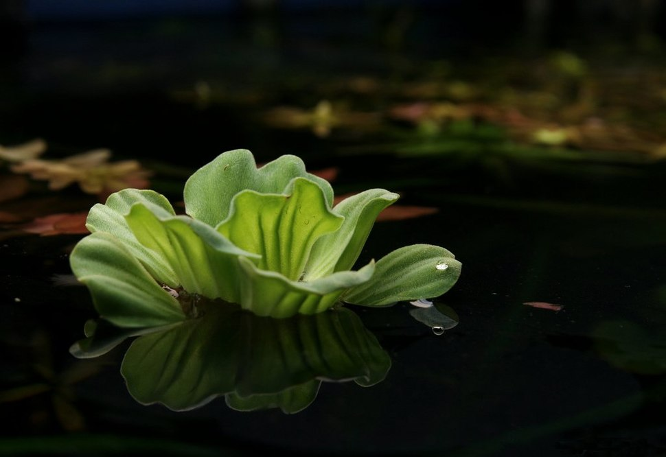 Waterlettuce