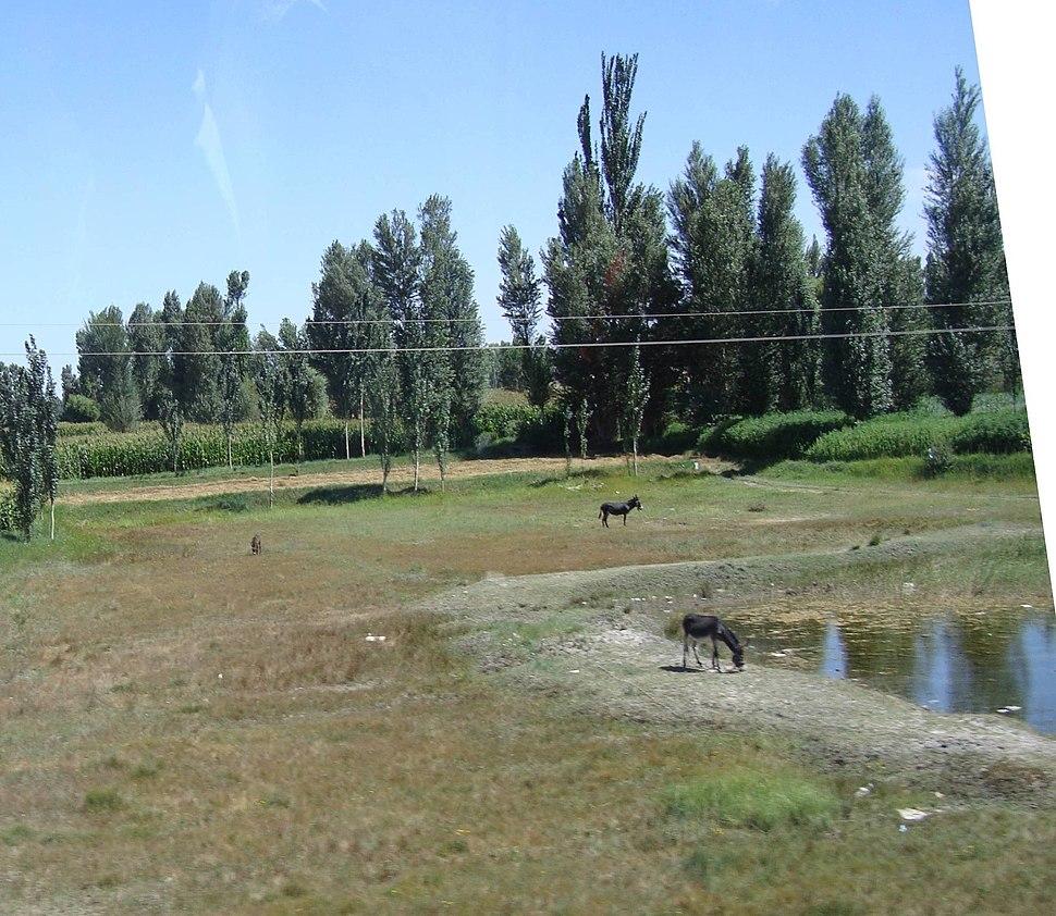 Gansu Donkeys