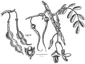 Sophora chrysophylla - Sophora chrysophylla details drawing