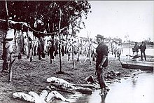 Murray cod - Wikipedia, the free encyclopedia