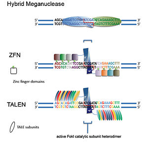 Genome editing - Groups of engineered nucleases used for GEEN. Matching colors signify DNA recognition patterns