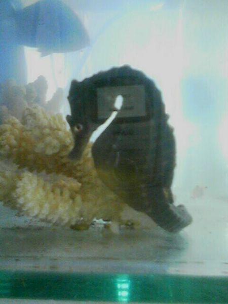 Big bellied Seahorse