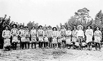 Nashville, Arkansas - Peach pickers in Nashville in 1915