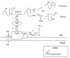 Oxidative folding - Process of oxidative folding in eukaryotes