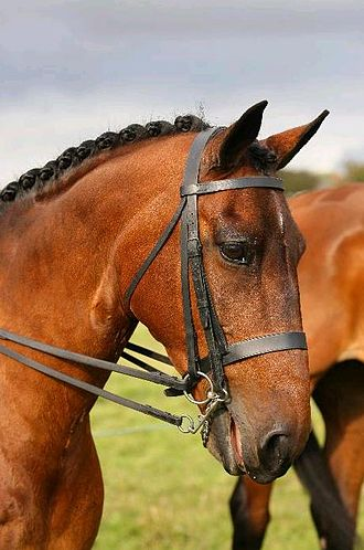 "Show hunter (British) - A show hunter correctly plaited and wearing an appropriately ""workmanlike"" double bridle."