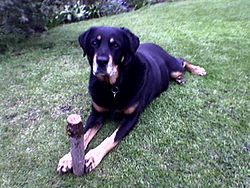 A male runt Rottweiler; puppies that are atypical of the breed standard are often sold by breeders as family pets.