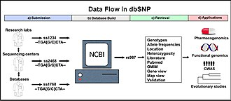 DbSNP - Image: Db SNP diagram no caption