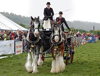 Draft horse showing - Clydesdale horses participate in a heavy horse turnout challenge in the UK.