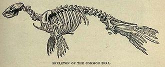 Harbor seal - Skeleton
