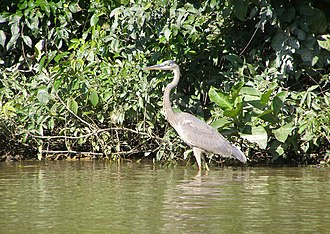 Monkey River - Monkey River lower reach showing a great blue heron wading