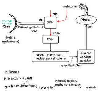 Neuropsychopharmacology - Diagram of neural circuit which regulates melatonin production via actual circuit pathways. Green light in the eye inhibits pineal production of melatonin (Inhibitory connections shown in red). Also shown:reaction sequence for melatonin synthesis.