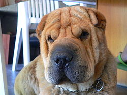 Chinese Shar Pei  Top Breed Derives from China