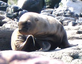 Steller sea lion - Steller sea lion pup (Kuril Islands, Russia)