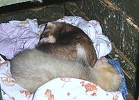 Young ferrets in deep sleep