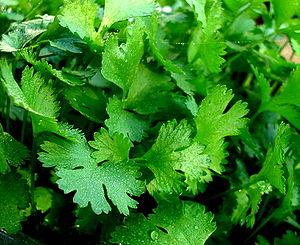 Puerto Rican cuisine - Cilantro leaves