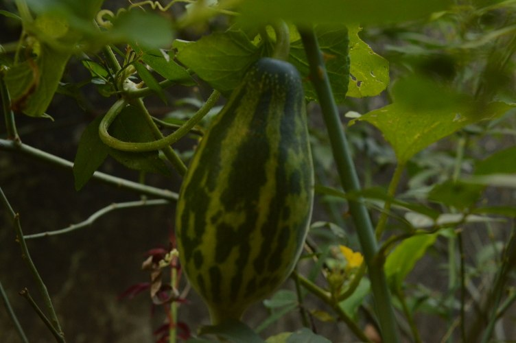 Cucumber hanging on the vine