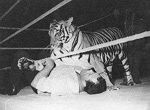 "Stu Hart - Hart wrestling a Bengal tiger named Sasha ""Chi-Chi""."