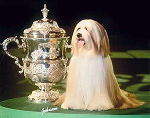 Araki Fabulous Willy - Willy after winning the Crufts competition (2007)