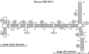 "Signal recognition particle RNA - Secondary structure of the human SRP RNA. Helices are numbered from 2 to 8. Helical sections in gray are named with lower case letters. Residues are numbered in increments of ten. The 5'- and 3'-ends are indicated. Highlighted are the two hinges and the small (Alu) and large (S, ""specific"") domain of the SRP RNA."