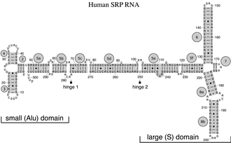 """Signal recognition particle RNA - Secondary structure of the human SRP RNA. Helices are numbered from 2 to 8. Helical sections in gray are named with lower case letters. Residues are numbered in increments of ten. The 5'- and 3'-ends are indicated. Highlighted are the two hinges and the small (Alu) and large (S, """"specific"""") domain of the SRP RNA."""