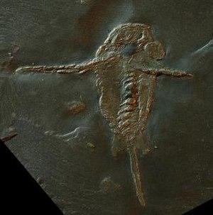 Hunsrück Slate - Fossil of Schinderhannes bartelsi an Anomalocarid from the Hunsrück Slate