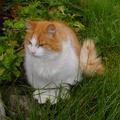 19 / Norwegian Forest Cat