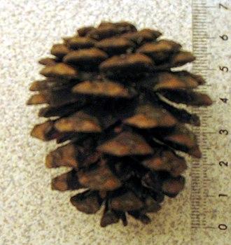 Pinus resinosa - Image: Pinus resinosa cone