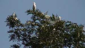 Somwarpet - The Great White Egret or Bellakki a native of Sulimalthe
