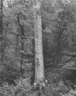 Webster Sycamore largest living American sycamore tree in West Virginia until 2010