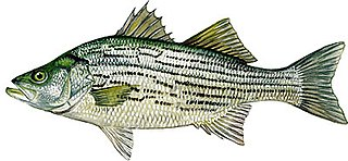 Hybrid striped bass taxon of fishes